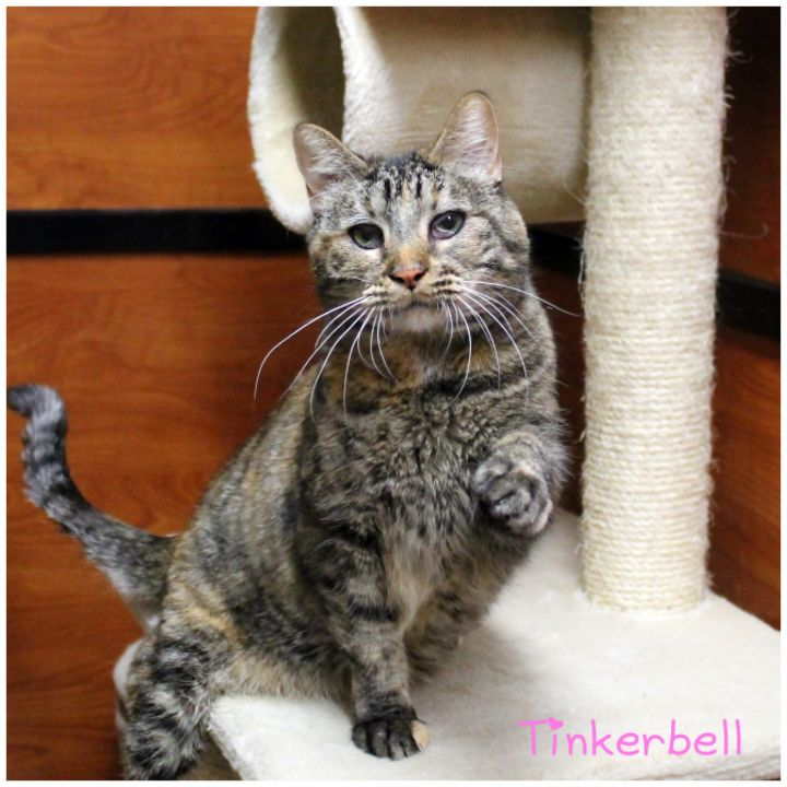 Tinkerbell, an adoptable Domestic Short Hair in Centerville, UT