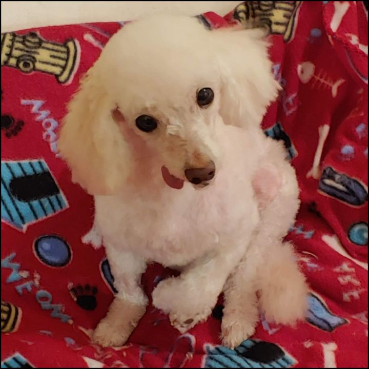 Dolly, an adopted Poodle in Bayside, NY