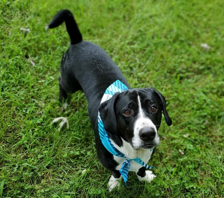 Silas, an adoptable Basset Hound Mix in Knoxville, TN
