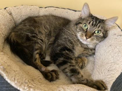 Pips, an adoptable Domestic Short Hair in Clarks Summit, PA