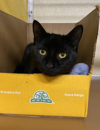 thunder cat hoo, an adoptable Domestic Short Hair in Clarks Summit, PA