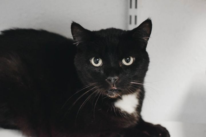 Jasper, an adoptable Domestic Short Hair Mix in Longview, WA