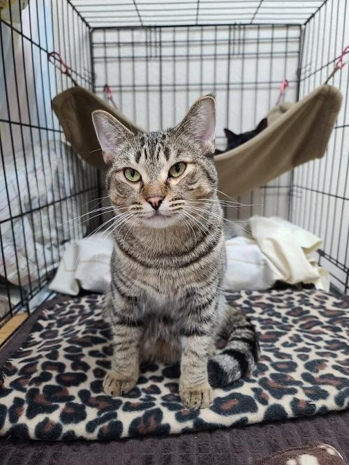 Griffin, an adoptable Tabby & Domestic Short Hair Mix in Monroe, MI