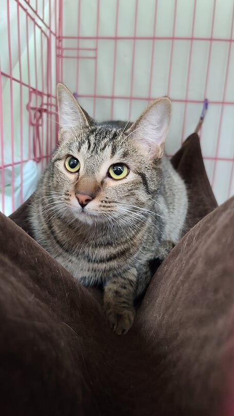 Baker, an adoptable Tabby & Domestic Short Hair Mix in Monroe, MI