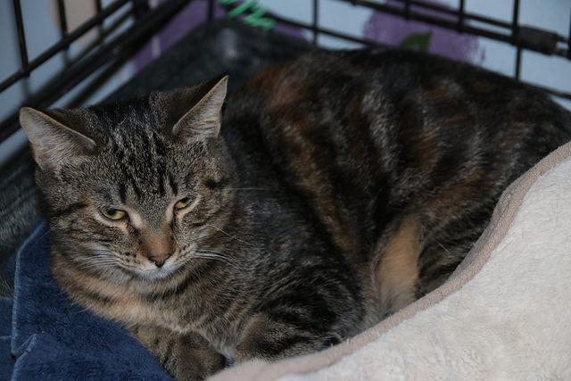 Iko, an adoptable Domestic Short Hair in Ann Arbor, MI