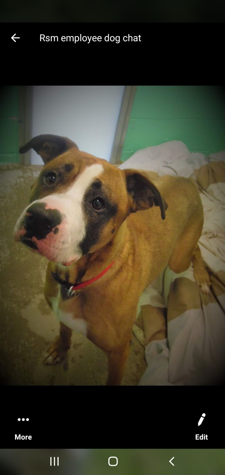 Kristoff, an adoptable Boxer & American Staffordshire Terrier Mix in Pine Grove, PA