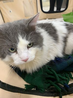 Tommy is a super sweet lovebug who wants nothing more than to sit on your lap and be brushed all