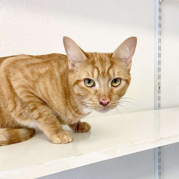 Butch, an adopted Domestic Short Hair Mix in Longview, WA