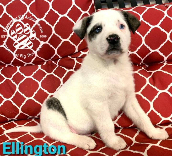 Ellington, an adopted German Shepherd Dog & Mastiff Mix in Cincinnati, OH