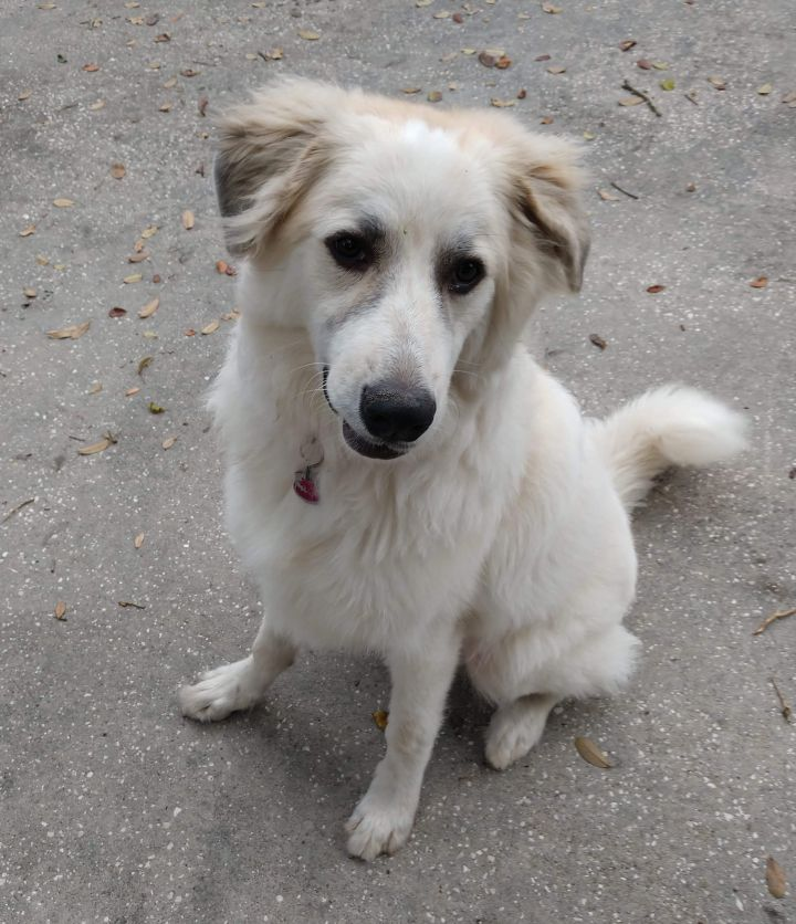 Millie, an adoptable Great Pyrenees Mix in Saint Petersburg, FL