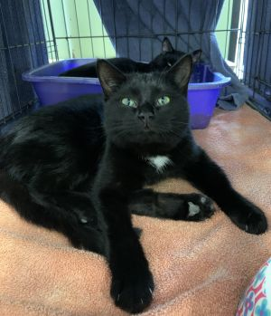 Handsome Twister is more than ready for his forever home This cute little tuxedo is very playful an