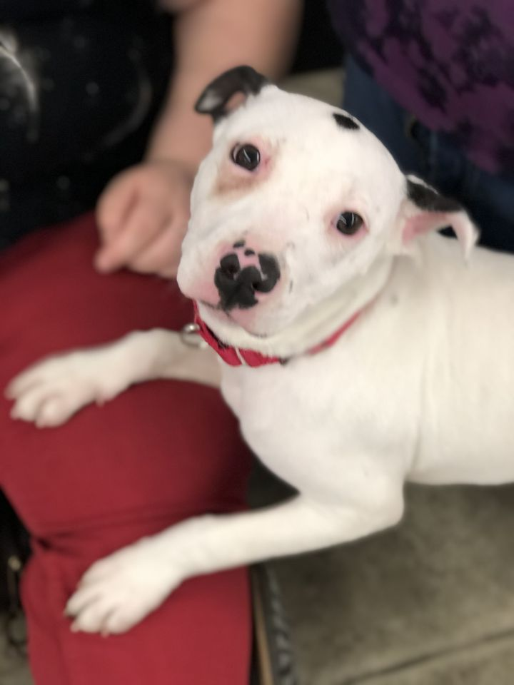 Dot, an adopted Pit Bull Terrier Mix in Southbury, CT