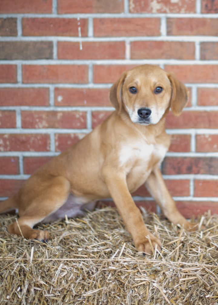 Junior, an adopted Shepherd Mix in Cape Girardeau, MO