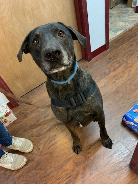 Ruger, an adopted Labrador Retriever & Rottweiler Mix in Howes Cave, NY