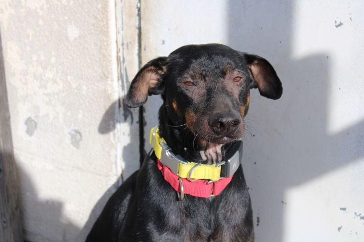 Elmo, an adoptable Doberman Pinscher & Labrador Retriever Mix in Medford, NY