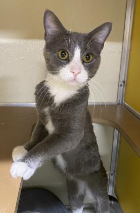 Cornelius, an adoptable Domestic Short Hair in Clarks Summit, PA