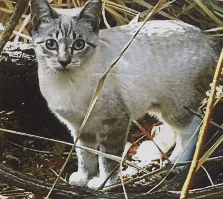 MISSING CAT: Jewel 1
