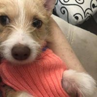 Piccola, an adoptable Terrier Mix in Kennewick, WA