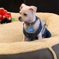 Drummer, an adoptable Chihuahua Mix in Kennewick, WA