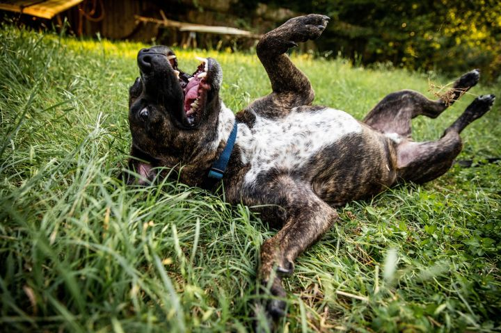 Hudson, an adoptable Cattle Dog & American Staffordshire Terrier Mix in Georgetown, TX