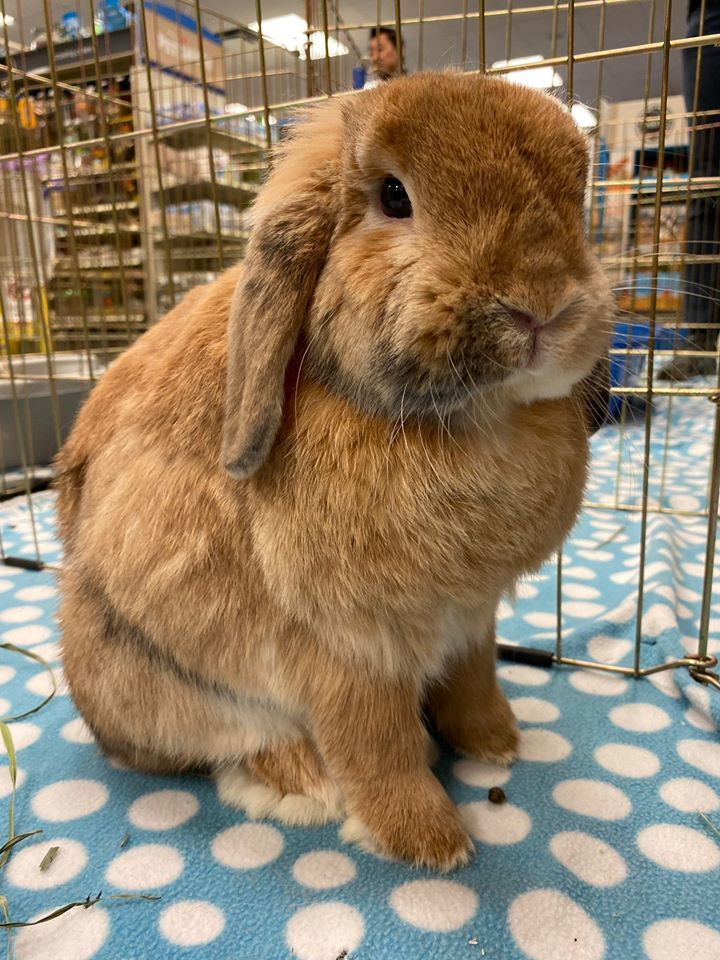Mr. B, an adopted Mini Lop in Livermore, CA