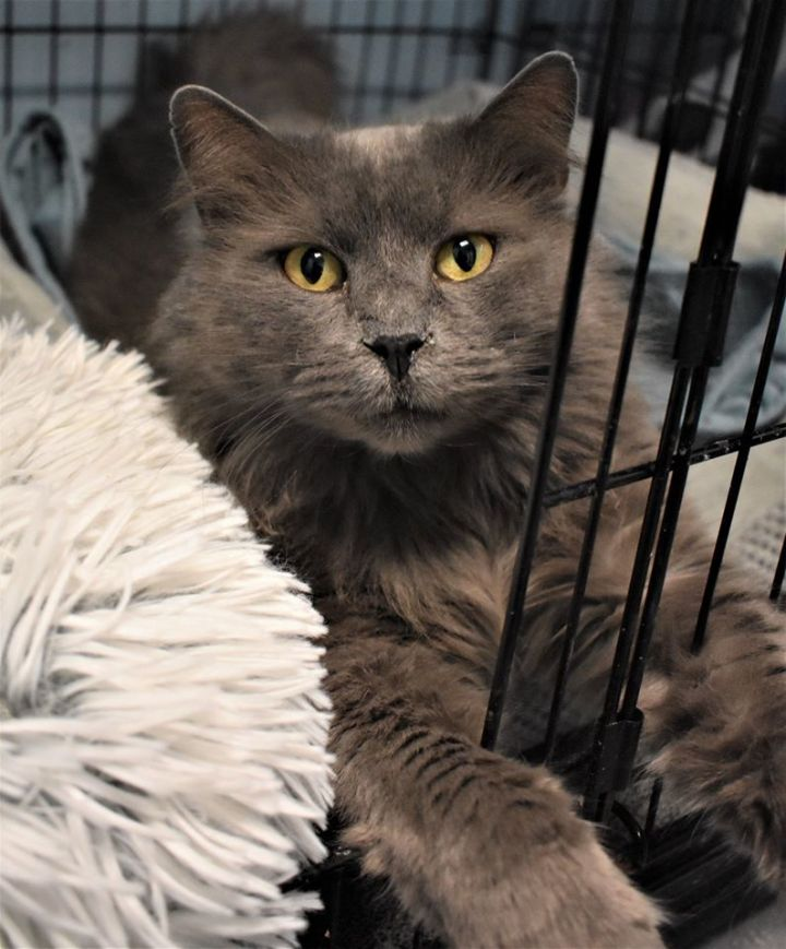 Harry, an adoptable Domestic Long Hair in Medford, NY