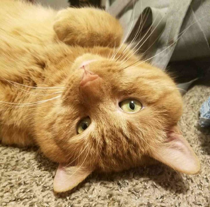 Fernando (aka Cheesepuff), an adopted Domestic Short Hair in Pittsburgh, PA