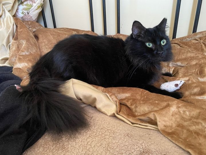 Sumi (AS), an adopted Domestic Long Hair in Little Falls, NJ