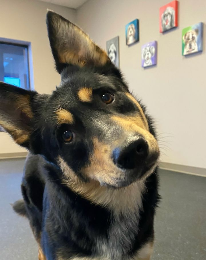 Astro, an adopted Shepherd Mix in Northville, MI