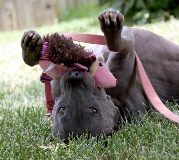 Dallas, an adopted Pit Bull Terrier & Greyhound Mix in Georgetown, TX