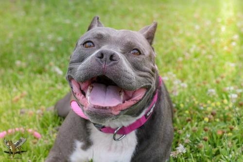 Liberty, an adoptable Pit Bull Terrier in Dallas, GA