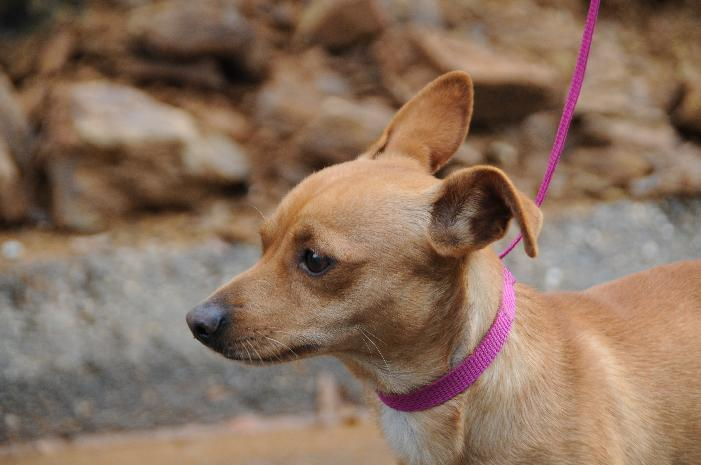 Jasper, an adoptable Chihuahua Mix in Jamestown, CA