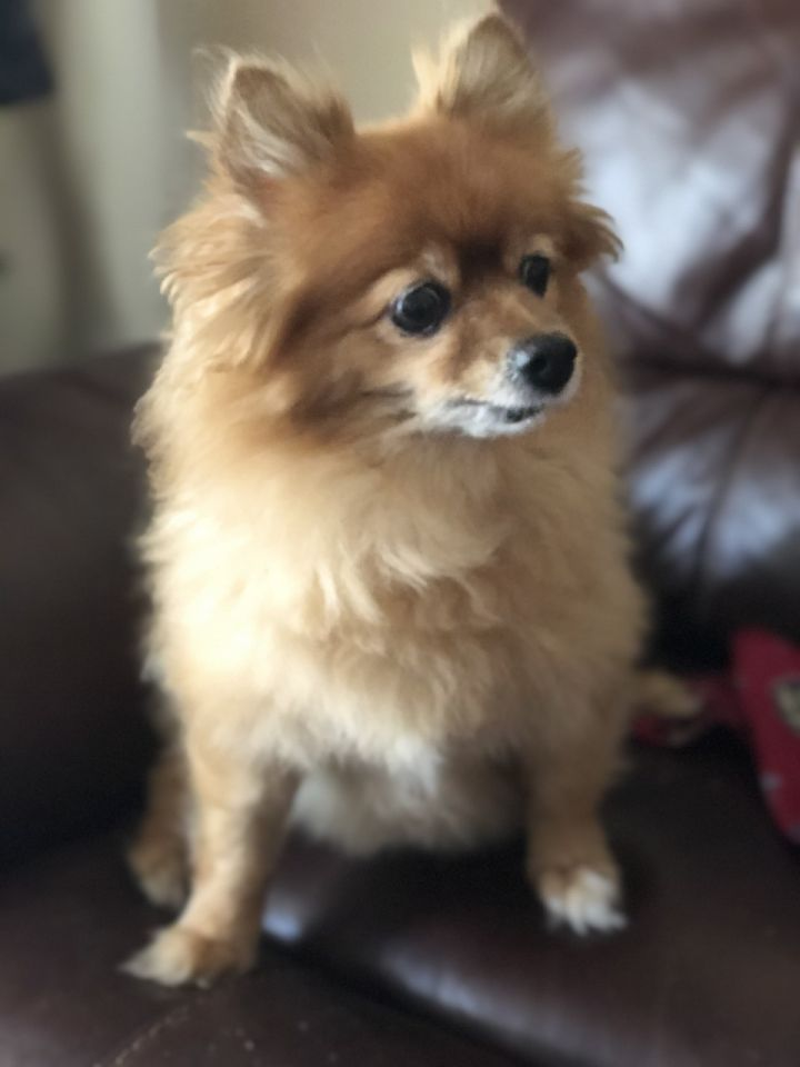 Eevee, an adopted Pomeranian in Palm Harbor, FL