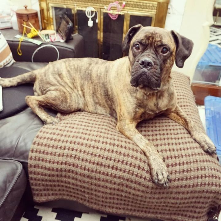 Moose, an adopted Mastiff in Detroit, MI