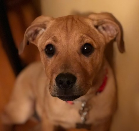 Norton, an adopted Retriever Mix in Schaumburg, IL