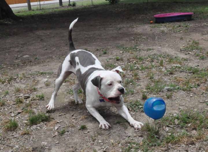 Sienna, an adoptable American Staffordshire Terrier & Pit Bull Terrier Mix in Georgetown, TX
