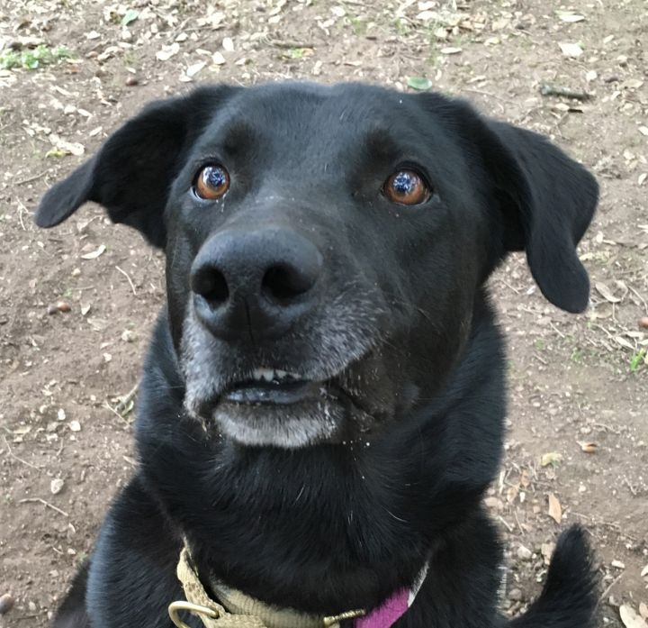 Nick, an adoptable Labrador Retriever & German Shepherd Dog Mix in Georgetown, TX
