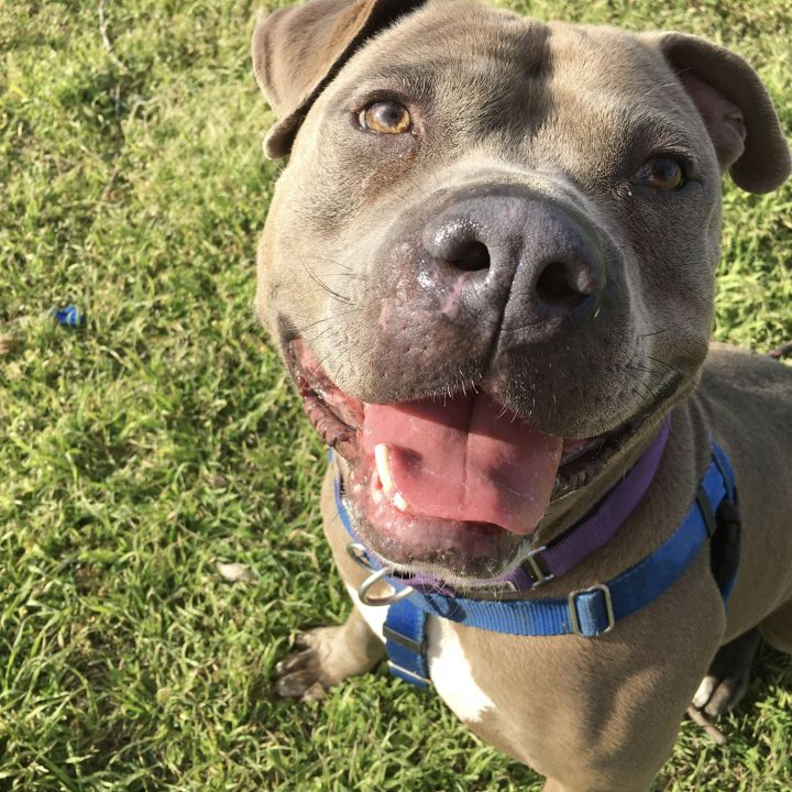 Monkey, an adoptable American Bully & American Staffordshire Terrier Mix in Georgetown, TX