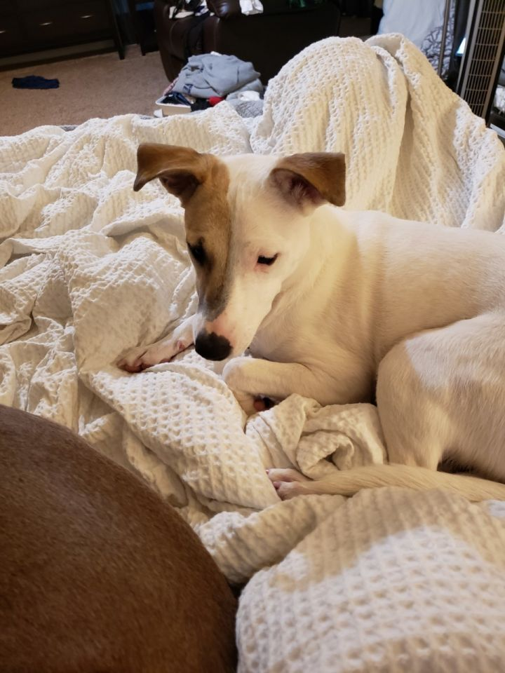 Baby Bambi, an adoptable Bull Terrier Mix in Dallas, TX