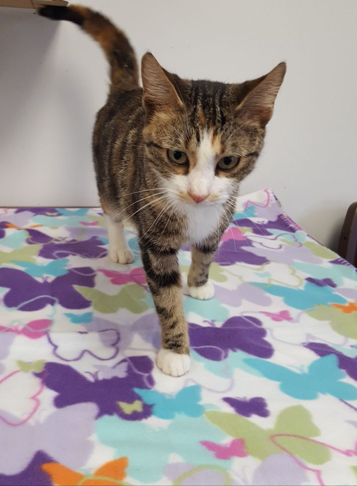 Sangria, an adopted Domestic Short Hair in Stanton, KY
