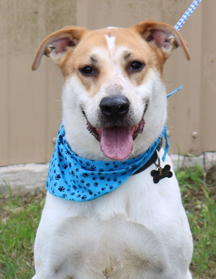 Jax, an adoptable Akita & Labrador Retriever Mix in Bandera, TX