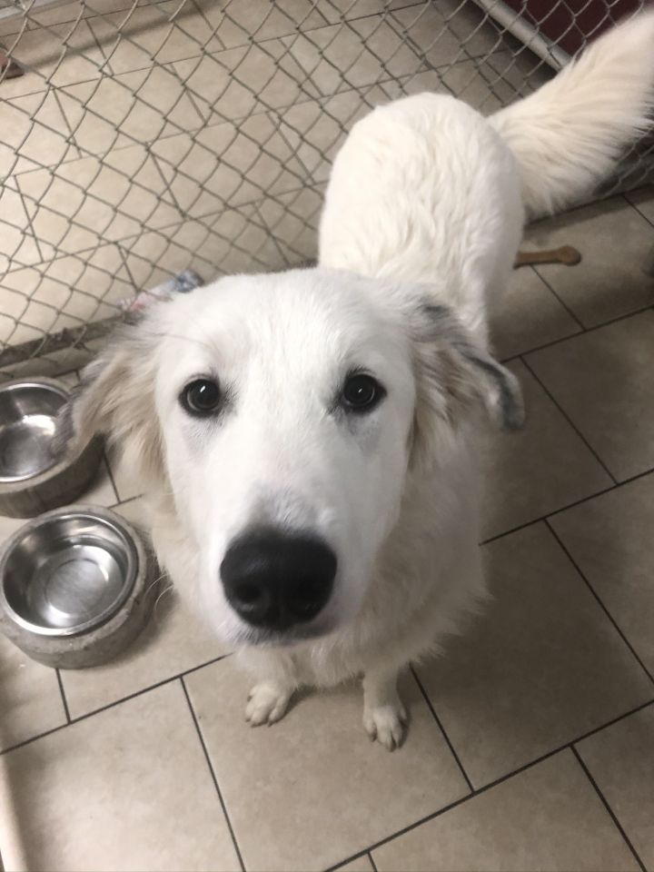 Sunny, an adopted Great Pyrenees Mix in Saint Louis, MO