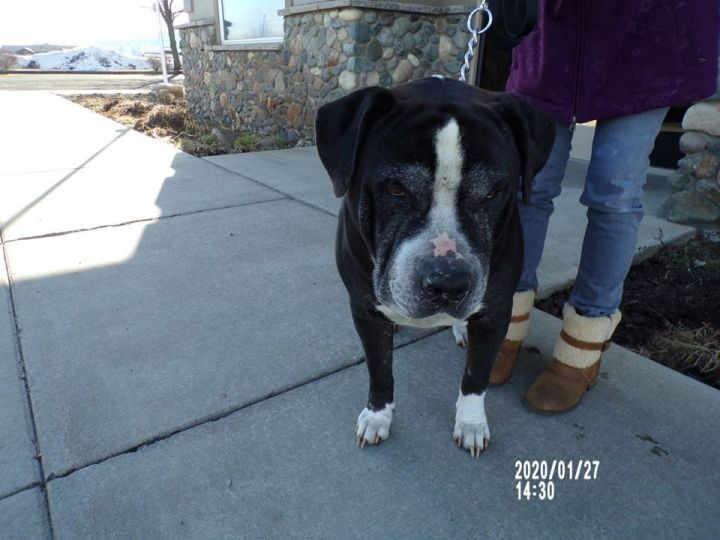 Gonzo, an adopted Pit Bull Terrier Mix in Eagle, ID