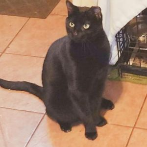 Meet our little mini black panther Hunter He is a gorgeous  silky big boy enjoys playing with wand