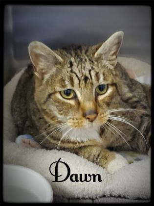 Dawn, an adoptable Domestic Short Hair in Prineville, OR