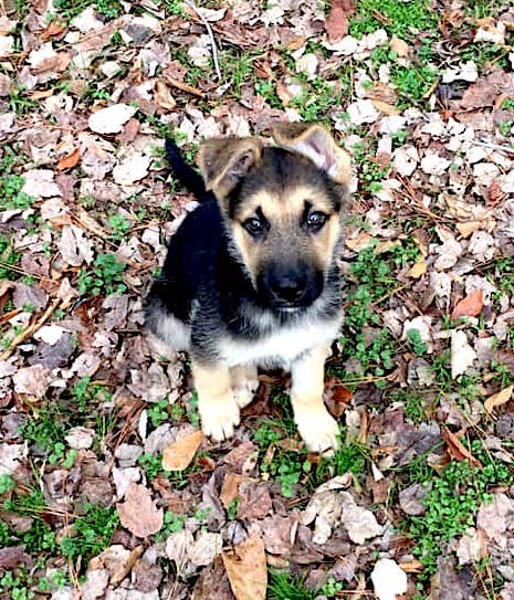 Hunter, an adoptable German Shepherd Dog in Concord, GA