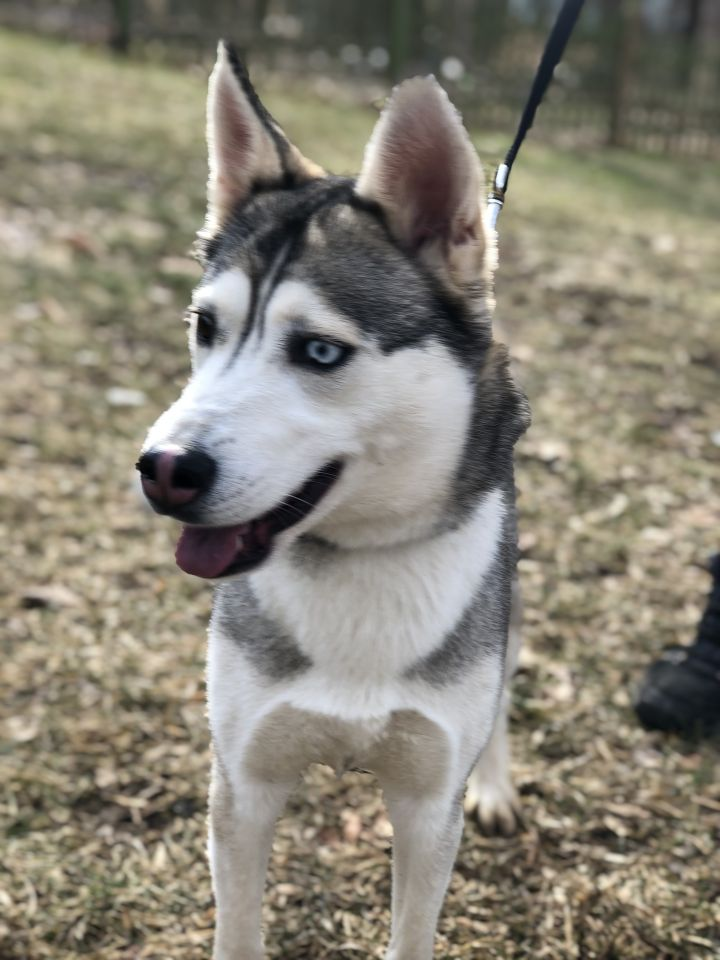 Miya, an adopted Husky in Southbury, CT