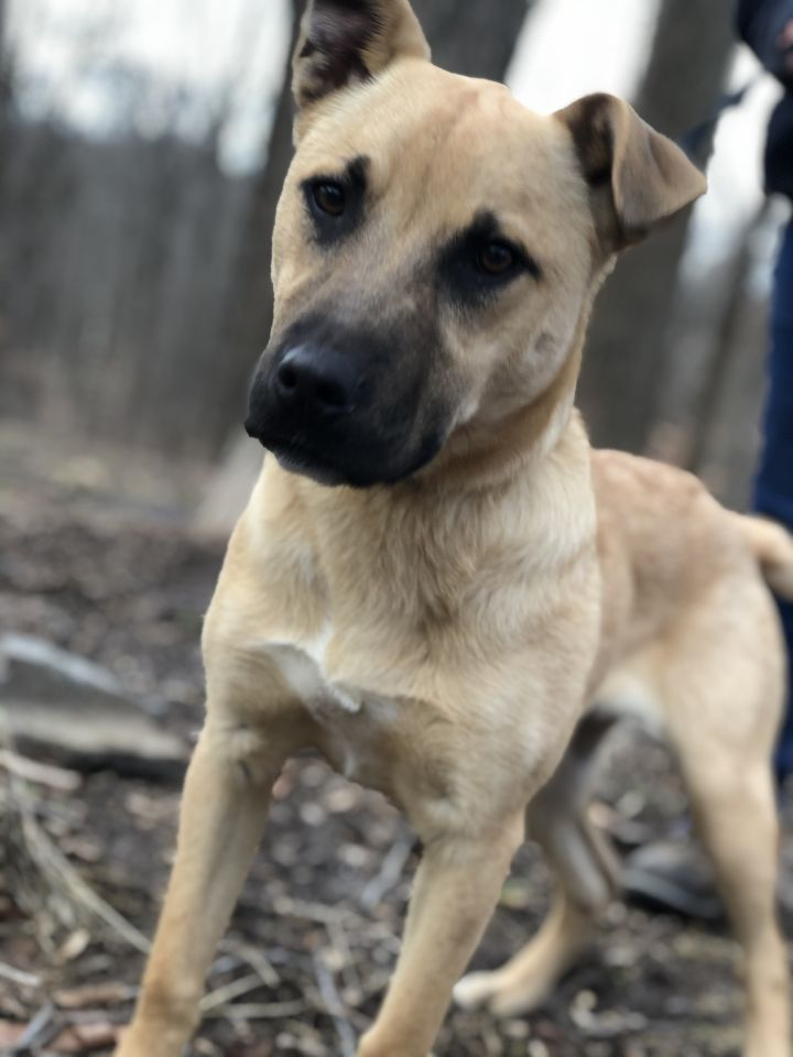 Padilla, an adopted Boxer & Shepherd Mix in Southbury, CT