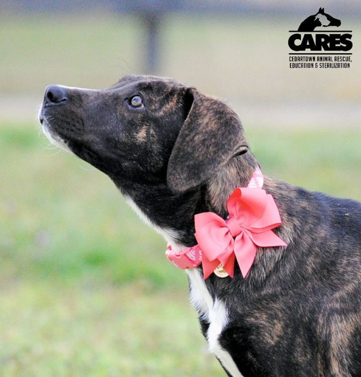 Bailee, an adopted Plott Hound Mix in Cedartown, GA