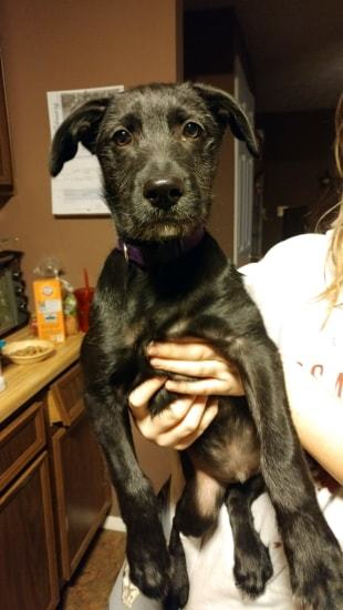 Loki, an adopted Black Labrador Retriever Mix in Rochester, NY